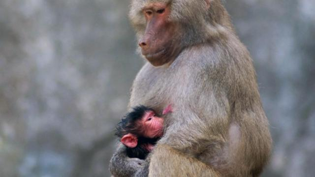 Rhea, a hamadryas baboon at the North Carolina Zoo, holds her newborn Zanzibar. The baby, whose sex has not yet been determined, was born May 29.