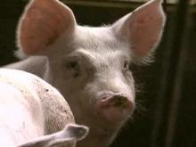 N.C. Hog Farm Quarantined