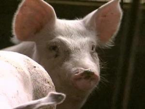 A farm in western North Carolina has been quarantined after a chemical blamed for more than a dozen pet deaths was found in its hogs, but none of the hogs has entered the food supply.