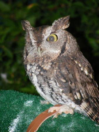 Furbee the Screech Owl, from the American Wildlife Refuge.
