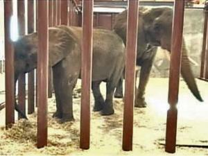 Tonga, a 29-year-old female, and her 5-year-old female calf, Batir, traveled to Asheboro via truck from Riddle's Elephant and Wildlife Sanctuary near Greenbrier, Ark.