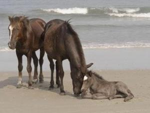 Spec (left) was hit by an off-road vehicle on the beach north of Corolla around May 23, 2009. His leg was broken, so rescuers put him down. Spec was part of a herd of about 100 wild horses that roam 11 miles of the northern Outer Banks. (Photo courtesy of the Corolla Wild Horse Fund)