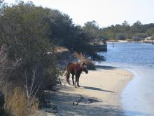 Spec was hit by an off-road vehicle on the beach north of Corolla around May 23, 2009. His leg was broken, so rescuers put him down. Spec was part of a herd of about 100 wild horses that roam 11 miles of the northern Outer Banks. (Photo courtesy of the Corolla Wild Horse Fund)