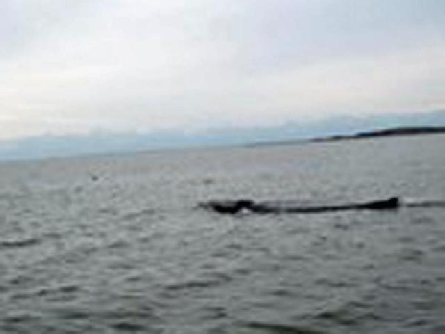 A 30-foot humpback whale has been spotted in the Core Sound near Drum Inlet.
