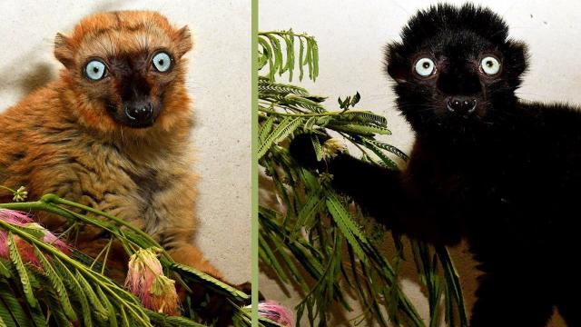 Officials with the Duke Lemur Center say they hope Velona, left, a 3-year-old female, and Mangamaso, a 5-year-old male, will improve the genetic diversity of captive members of the critically endangered species of blue-eyed black lemurs. (Photo courtesy of Duke Lemur Center)