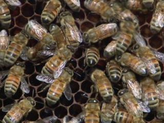 The honey bee has also been adopted as the official state insect. Since apartment dwellers might not be able to keep a windowsill beehive, a nice jar of honey might suffice.