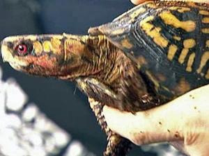 A contribution to N.C. State's turtle rescue team can show your support for the state reptile (eastern box turtle).