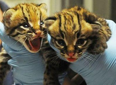 On April 12th, 2011, The North Carolina Zoo welcomed two Ocelot cubs. Credit: North Carolina Zoo.