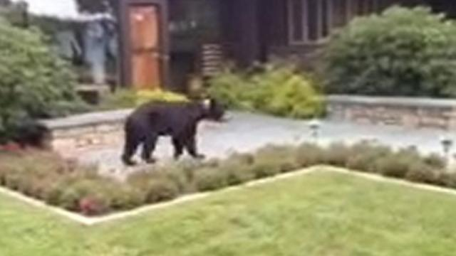 A black bear visists the governor's western residence.
