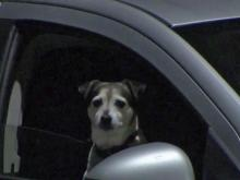 Drivers could be charged for dogs on laps