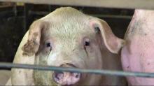 NC House passes hog waste bill