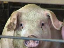 NC House passes hog waste bill