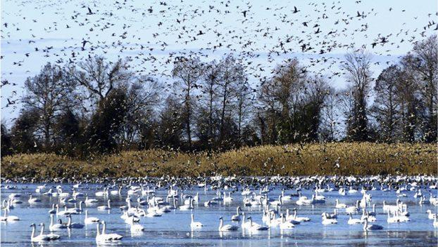 BIRDS--Lake Mattamuskeet