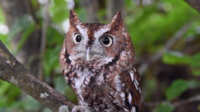 Screech Owl (Photo by Tom Earnhardt