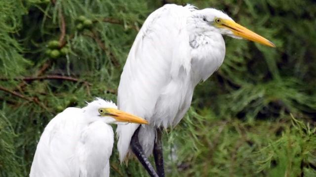 EARNHARDT-10 Egrets