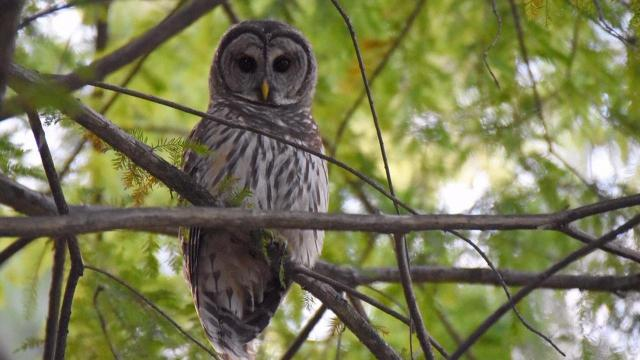 EARNHARDT-3 Owl