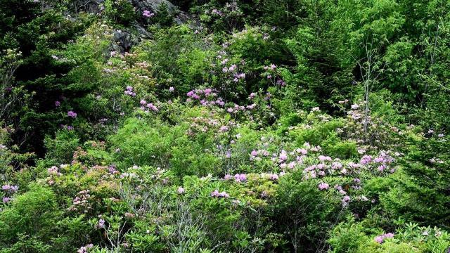 EARNHARDT-4 Rhododendron