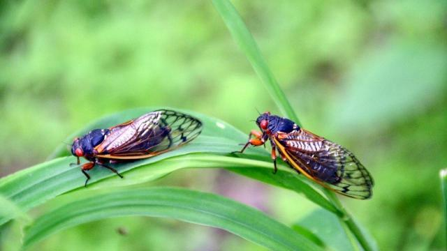 EARNHARDT-2 Cicadas