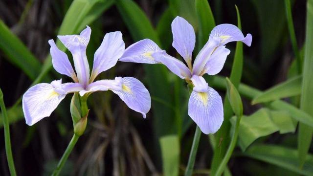 EARNHARDT-8 Iris