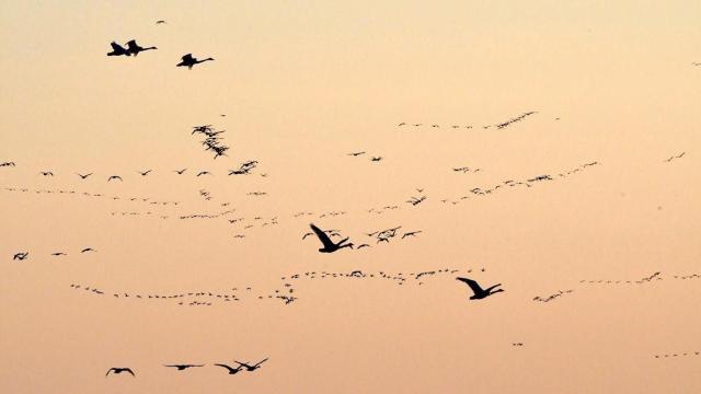 EARNHARDT-13 Geese