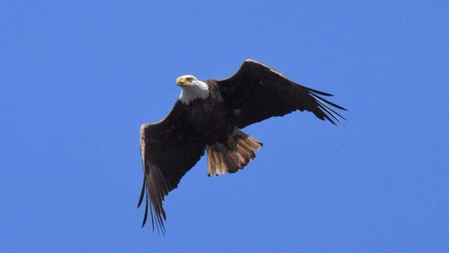 Eagle (Photo by Tom Earnhardt)
