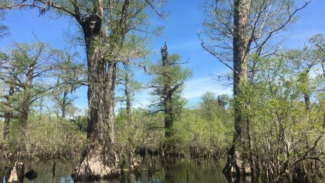 EARNHARDT-8 Black River trees