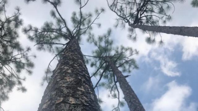 EARNHARDT-9 Longleaf pines