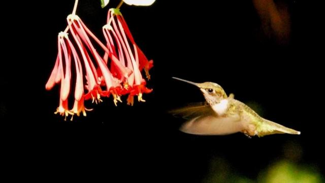 Ruby-throated hummingbird. (Photo by Tom Earnhardt)