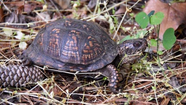 EARNHARDT-6 turtle
