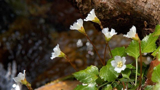 EARNHARDT-4 Shortia galacifolia