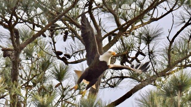 EARNHARDT-5 eagle