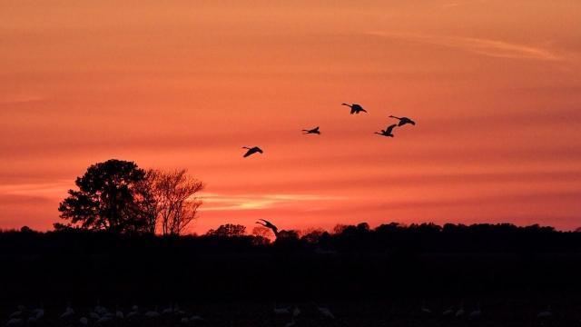 EARNHARDT-10 Swans