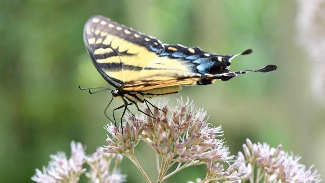 EARNHARDT-5 Butterfly