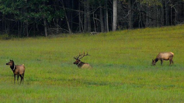 EARNHARDT-9 Elk