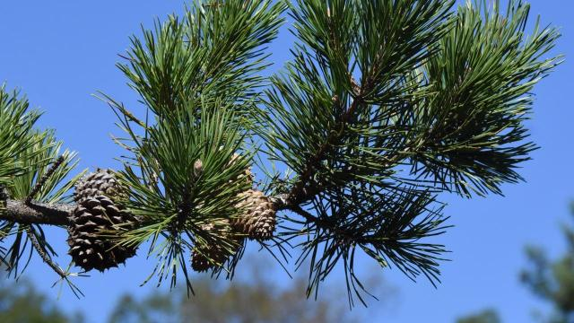 EARNHARDT-4 Table Mountain Pine