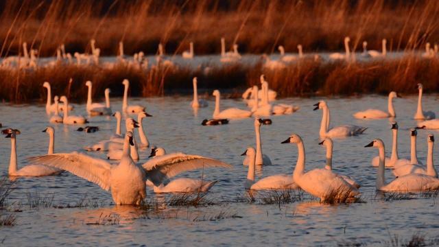 EARNHARDT-5 Swans