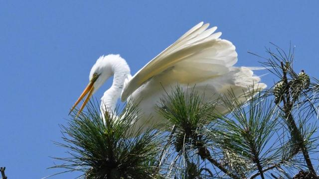EARNHARDT-6 Egret