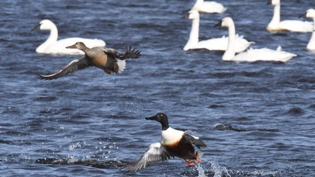 Ducks and geese in the Chowan River (Photo by Tom Earnhardt)
