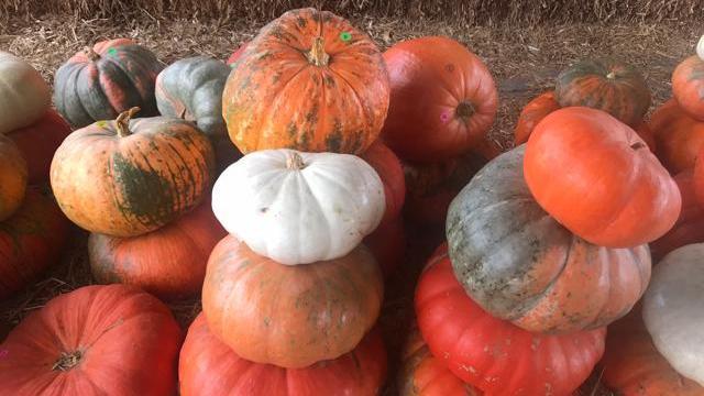 EARNHARDT-1 Pumpkins