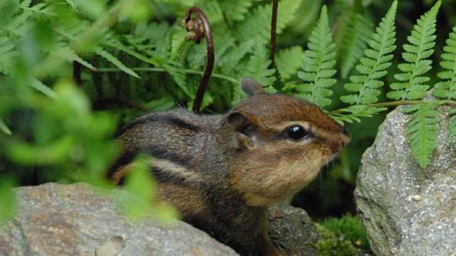 Chipmunk (Photo by Tom Earnhardt)