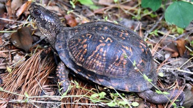 Eastern Box Turtle (Photo by Tom Earnhardt)