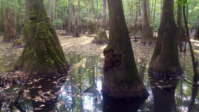 EARNHARDT-4 Tupelo-Swamp Black Gum