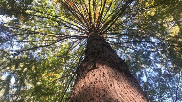 EARNHARDT-6 Bald Cypress