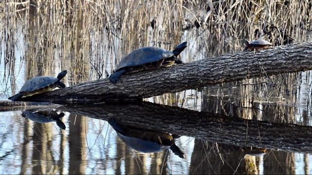 EARNHARDT-1 Turtles