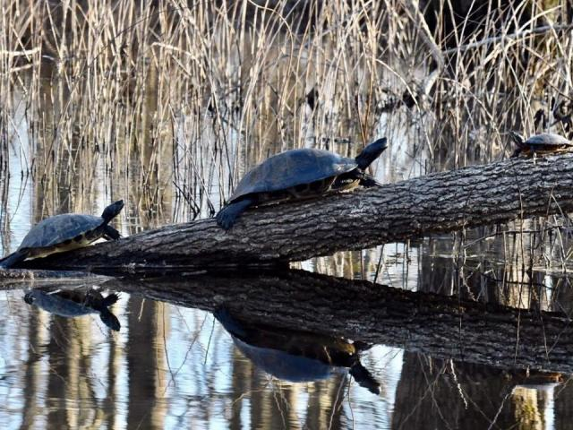 Bale of turtles (Photo by Tom Earnhardt)