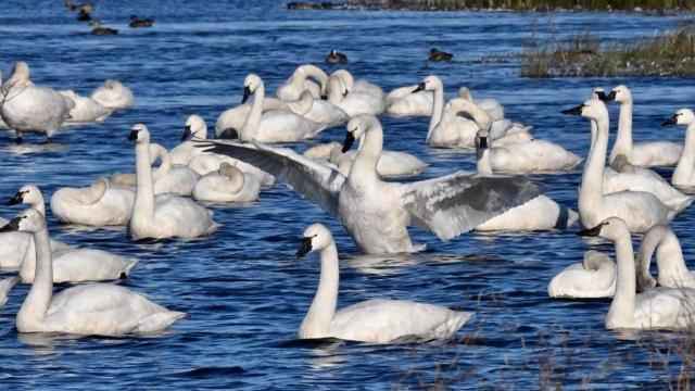 EARNHARDT-6 swans