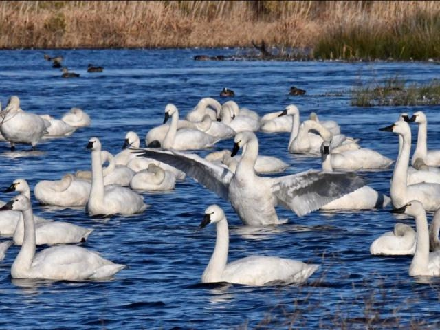 Ballet of swans (Photo by Tom Earnhardt)