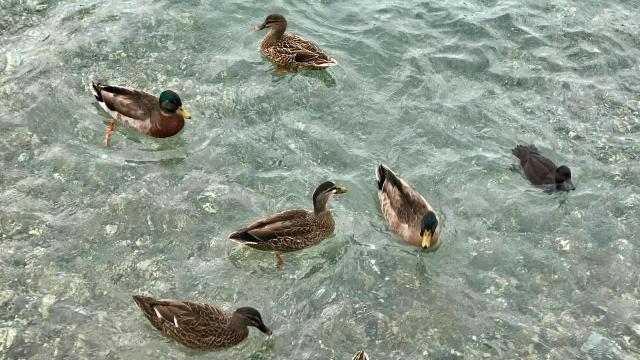 EARNHARDT-5 Ducks