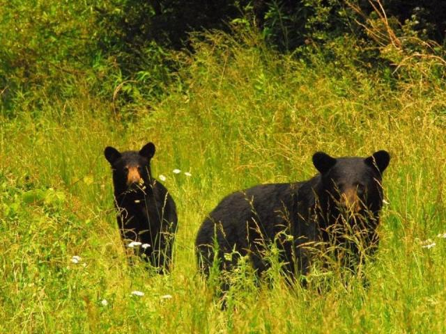 Sleuth of bears (Photo by Tom Earnhardt)