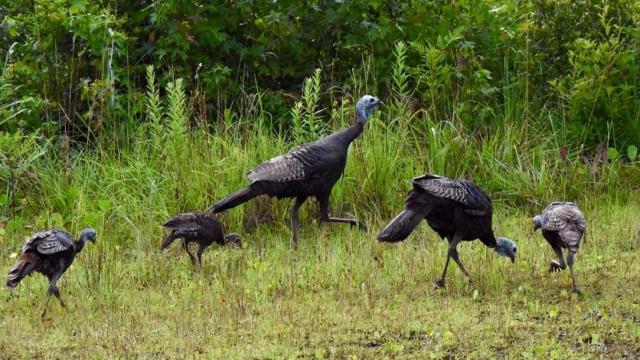 Rafter of turkeys (Photo by Tom Earnhardt)